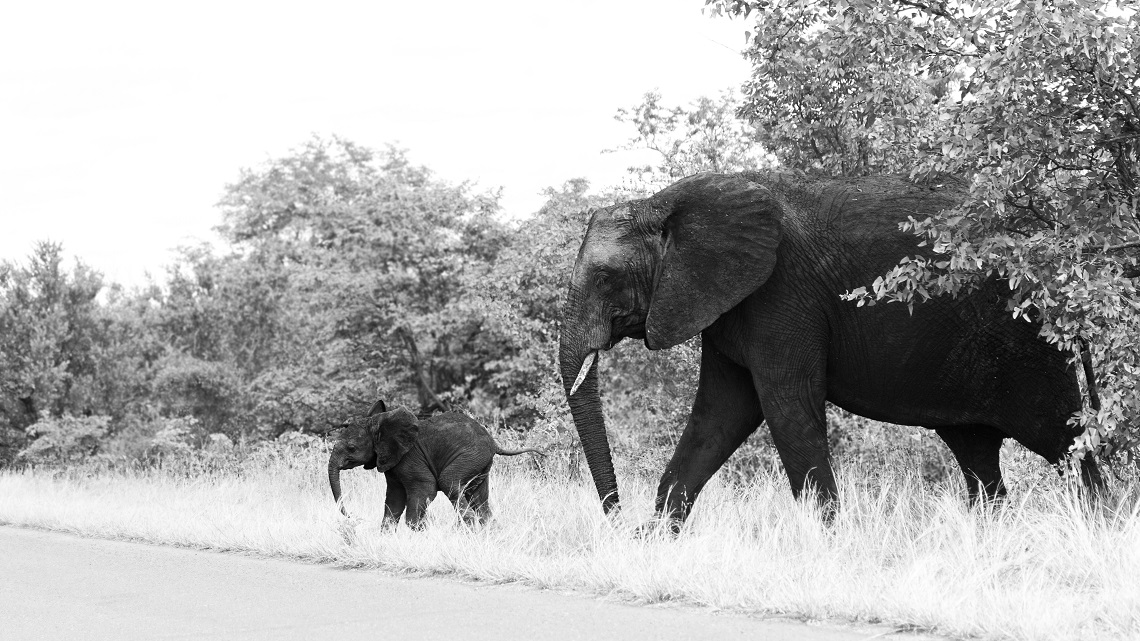 Elephants and calf-Kruger-Ben Coley