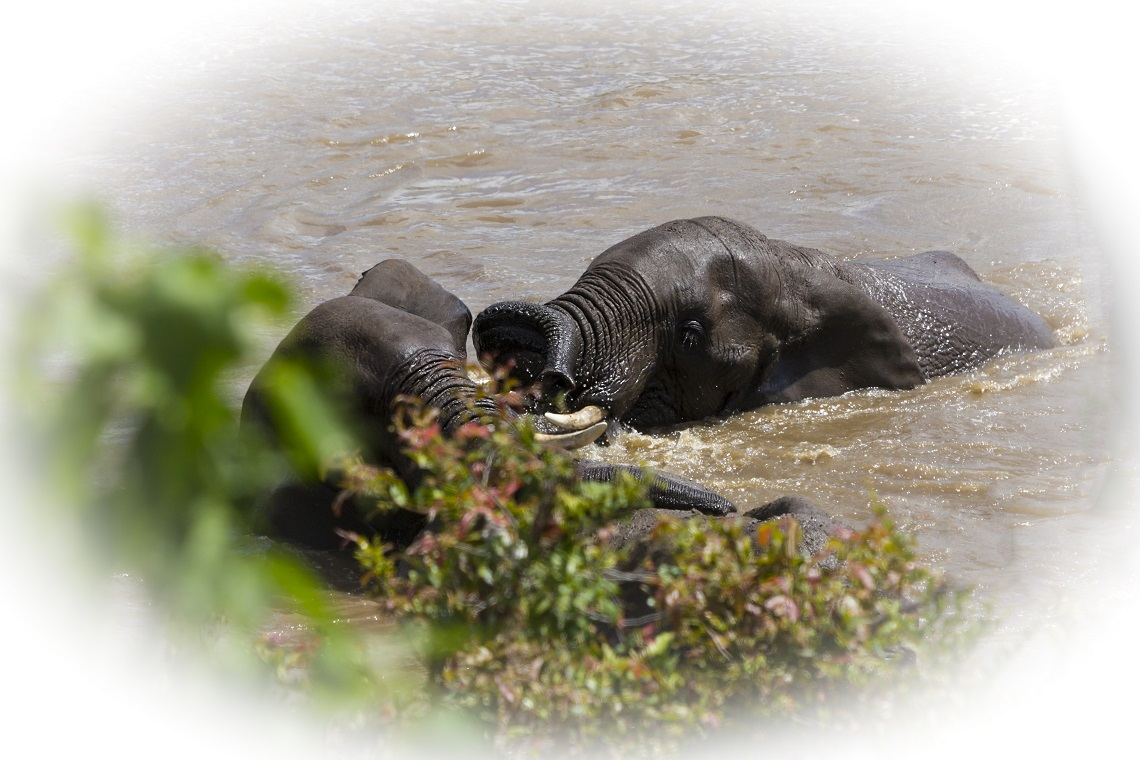 Elephants in river-Kruger-Ben Coley