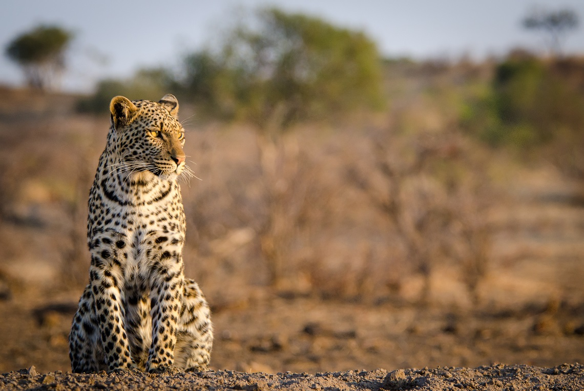Leopard photography-Ruth Nussbaum