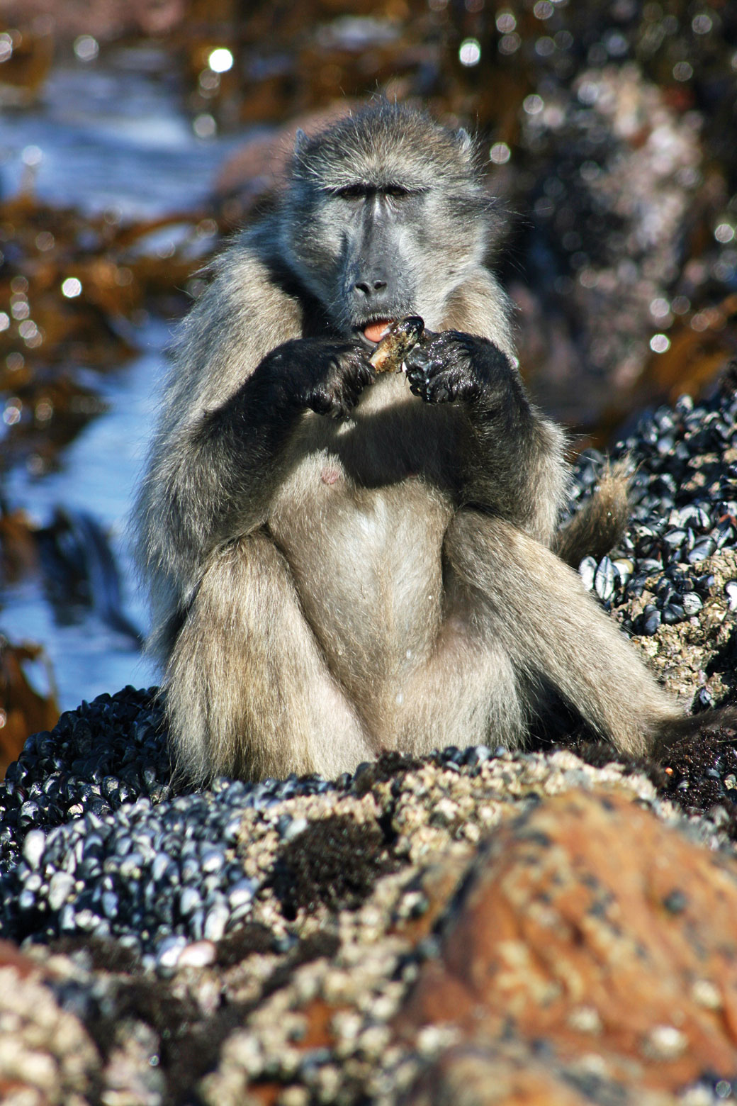 Baboon eating mussel by Matthew Lewis