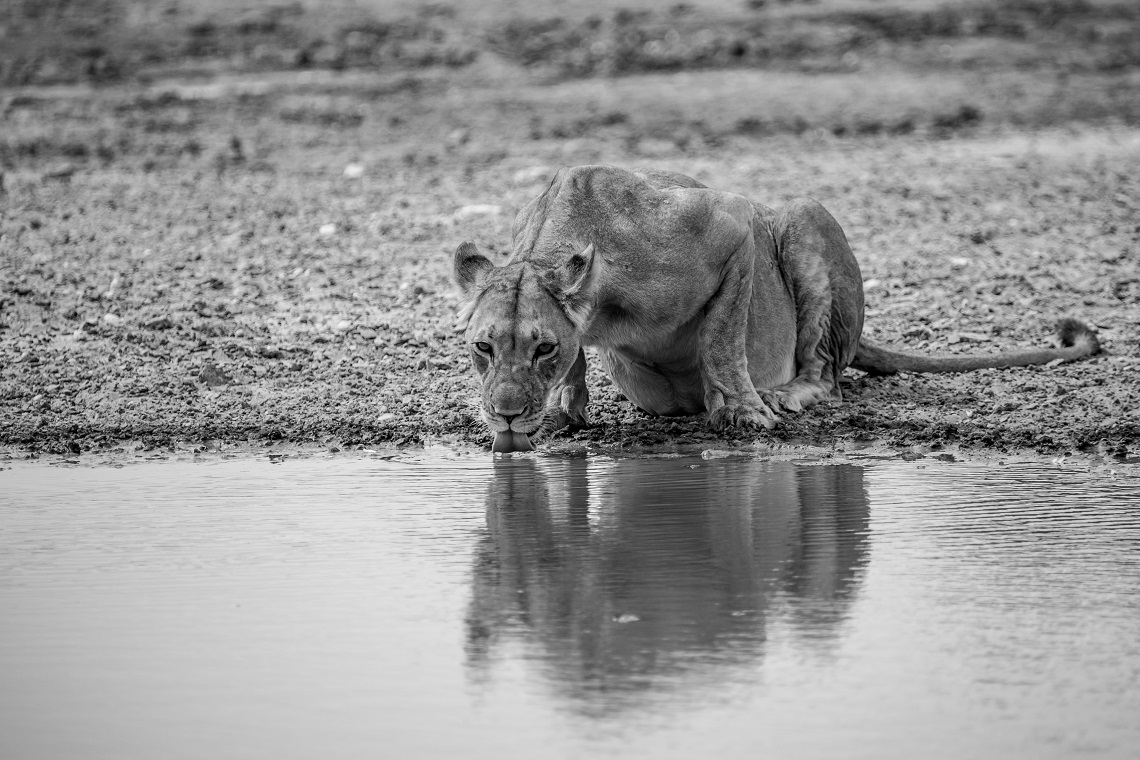 Black and white portrait of drinking lion in Kgalagadi Transfrontier Park by Samuel Cox