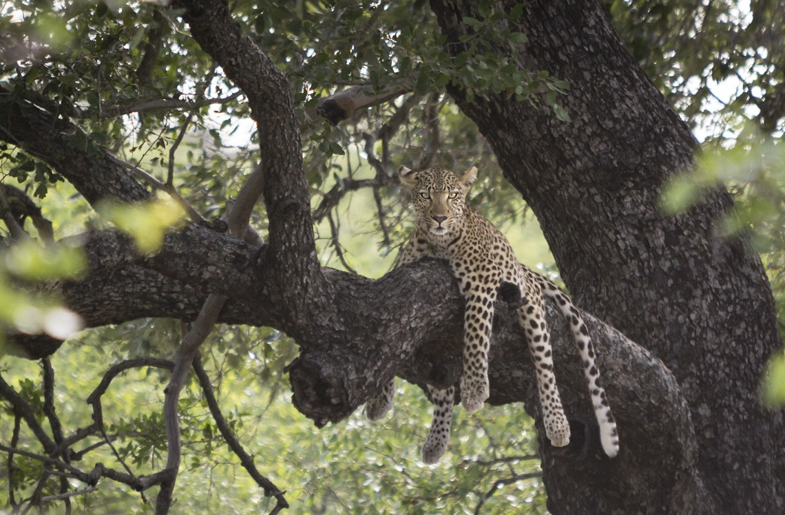 Lazy leopard in a tree in the Kruger National Park by Ben Coley