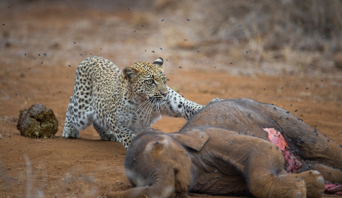 Young leopard feeding on the carcass of an elephant calf by Juan van den Heever
