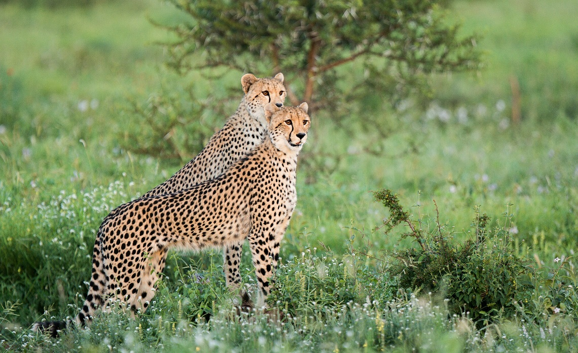 Cheetah-Kruger National Park-Umar Daya