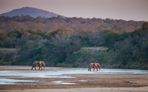 Two elephant bulls at sunset.