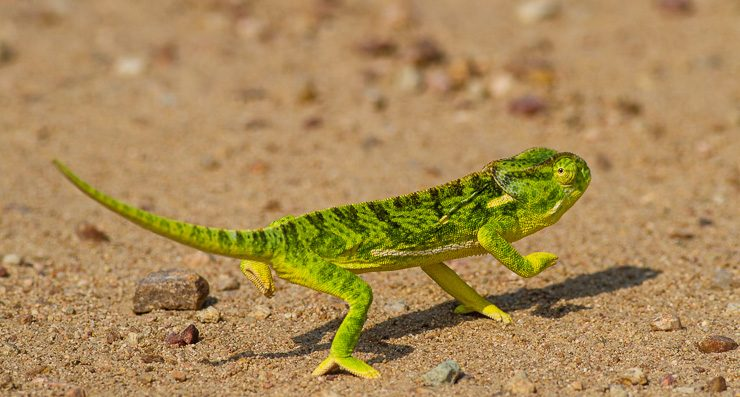 Photographers delighted in snapping this flap-necked chameleon in the Kruger.