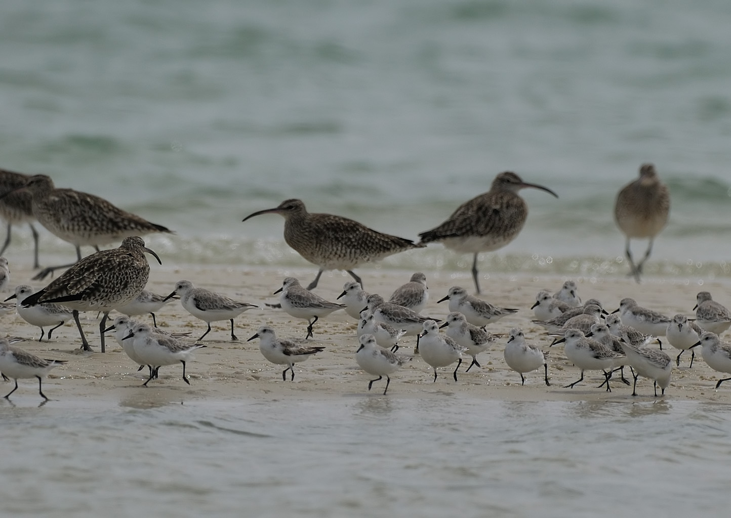 CommonWhimbrels+Sanderlings-SeebergHide-WestCoast-RomiBoom