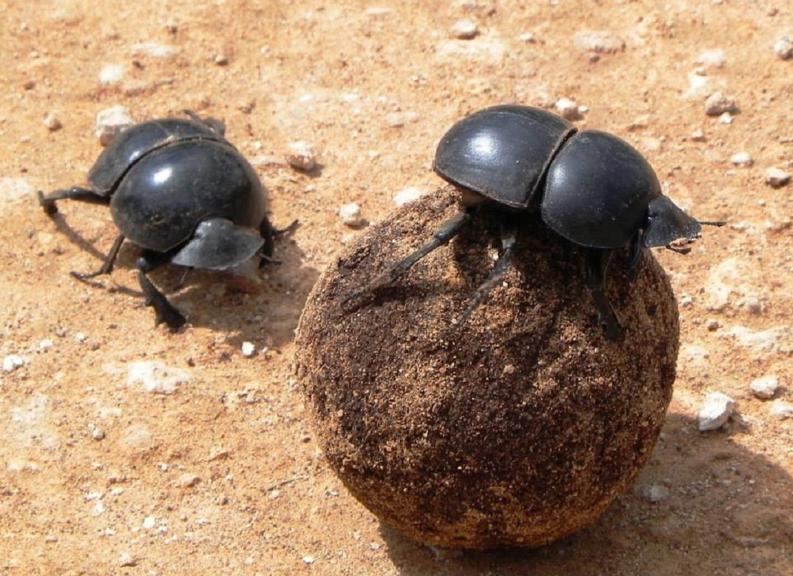 Dung beetle-Addo-Sally Sivewright