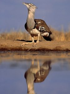 Kori bustard. Photo by Greg du Toit.