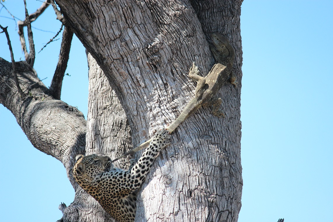 Leopard and rock monitor in tree-Kruger-Mariska Nortje-2