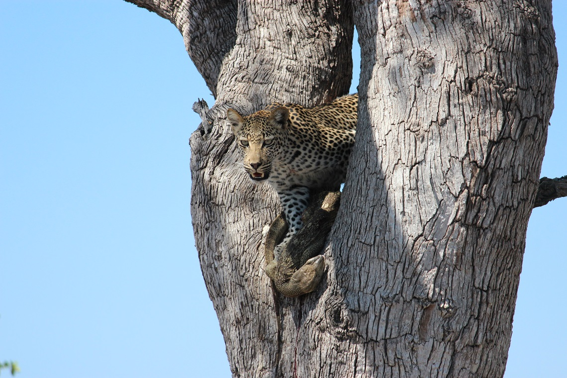 Leopard and rock monitor in tree-Kruger-Mariska Nortje-7