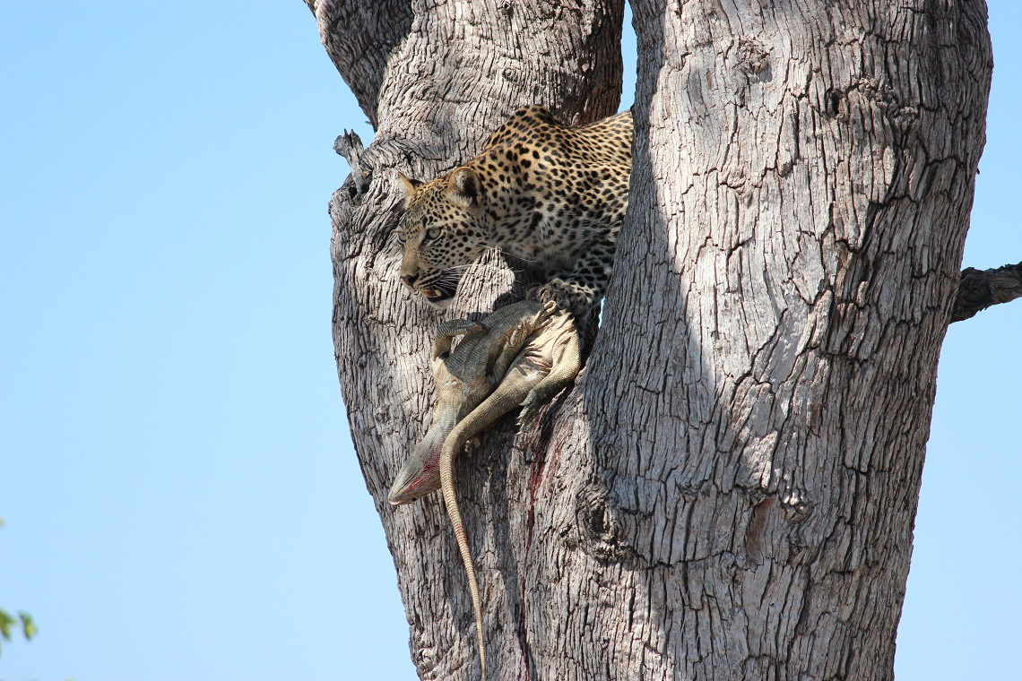 Leopard and rock monitor in tree-Kruger-Mariska Nortje-9
