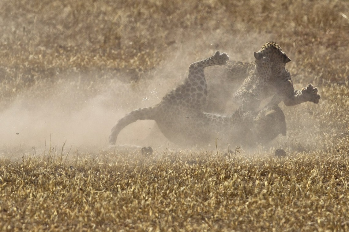 http://www.PhotoPixSA.co.za. This male and female Leopard fighting in the Mata Mata riverbed in. Just a pity that the picture was taken directly into the sun.