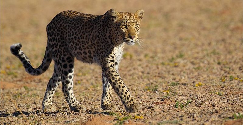 LeopardTsammawalking.Picture by Sharifa Jinnah