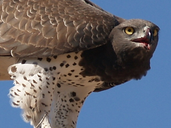 Martial Eagle. Photograph by Ian Bernhardi.