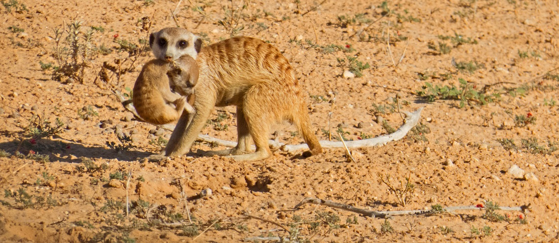Meerkat-Kgalagadi-Christine Highams