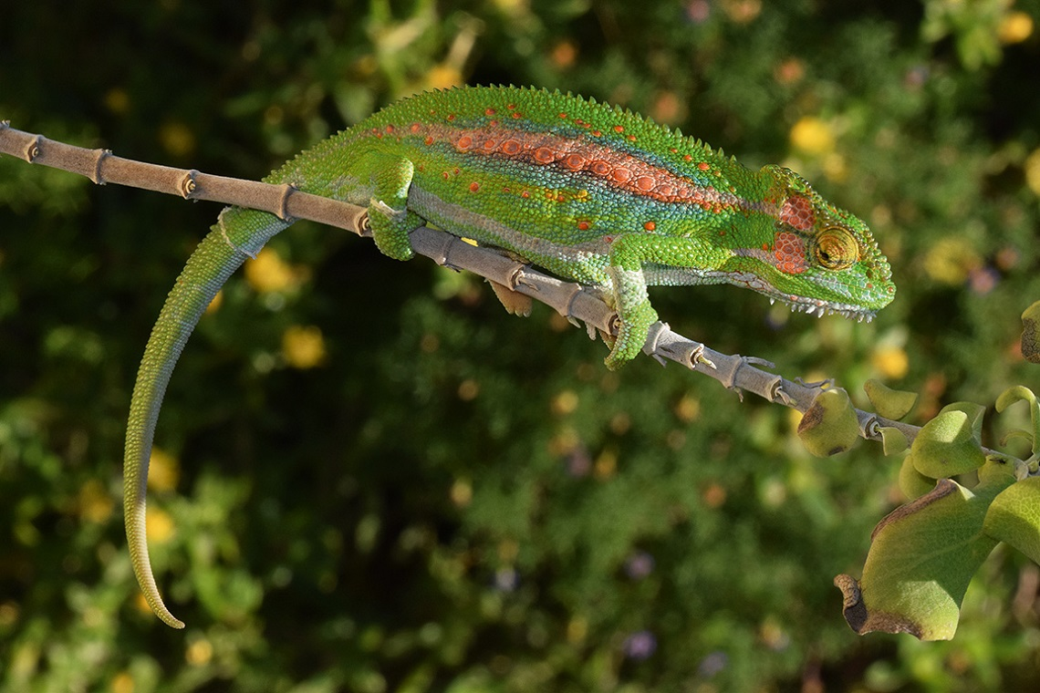 Pocket Guide Snakes and Other Reptiles of Southern Africa-Cape Dwarf Chameleon-Krystal Tolley