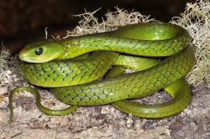 Pocket Guide Snakes and Other Reptiles of Southern Africa-Western Green Snake-Bill Branch