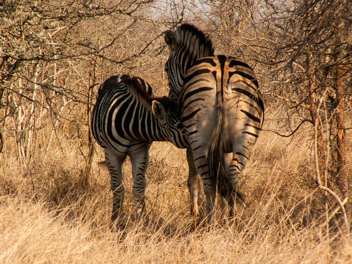 Wild mothers and young-Kruger-Zebra-Michel Rademaker