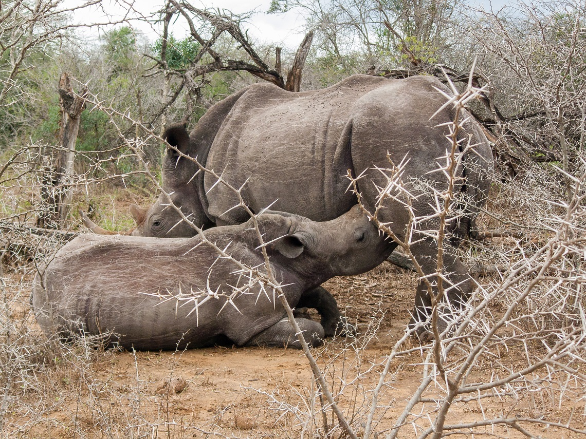 Wild mothers and young-Rhino calf-Michel Rademaker