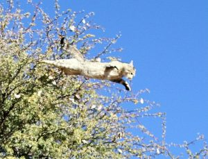 WildCatTreeTopJump-Picture by SharifaJinnah - Oct 2013