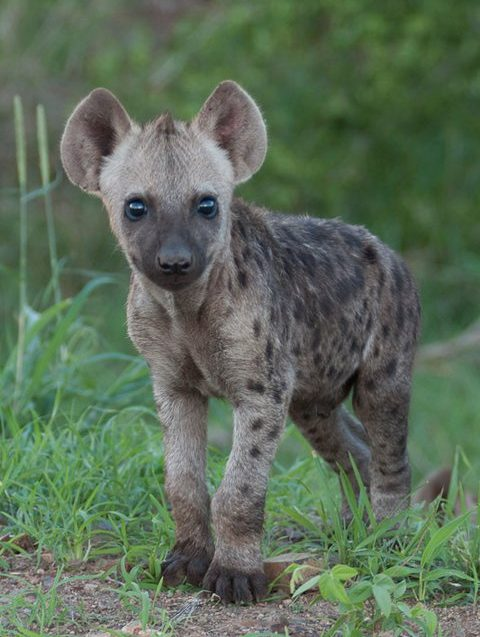 2 Hyena-Barry Tanner-Nov2013