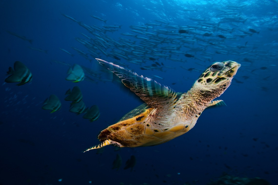 Hawksbill sea turtle soars through a sea filled with barracuda and batfish in Kimbe Bay, Papua New Guinea.