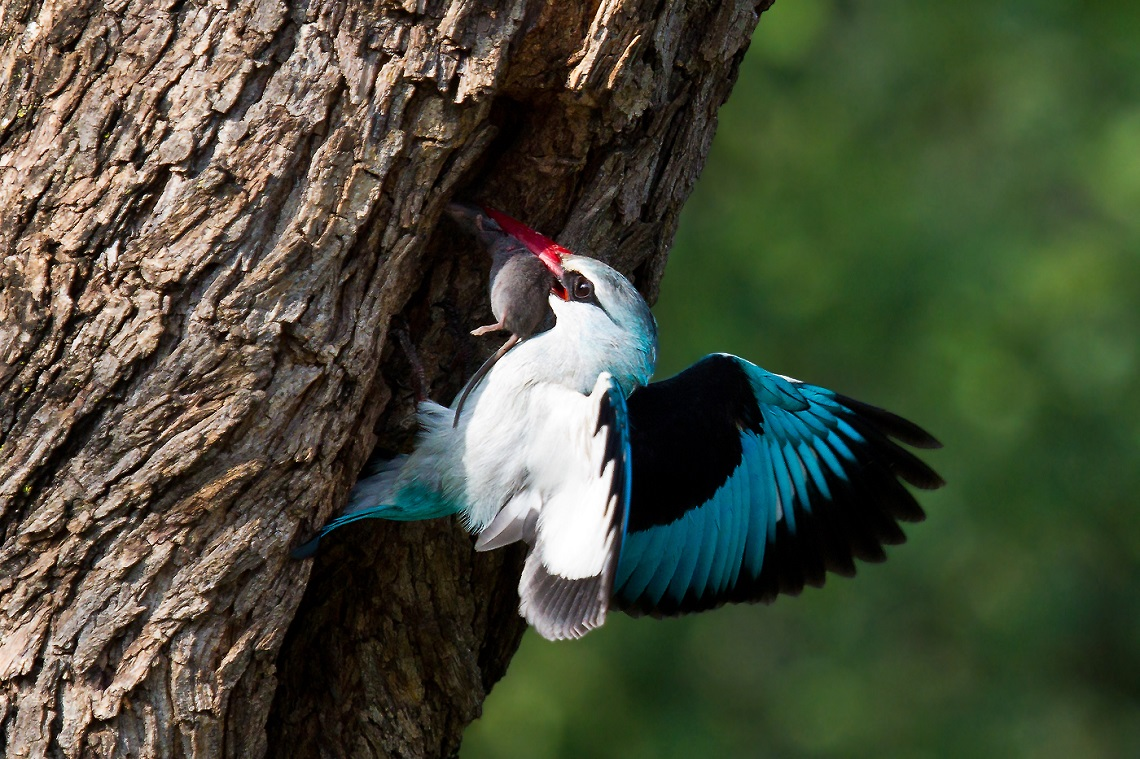 Woodland kingfisher-Loskom Dam-Jan van Wyk-1