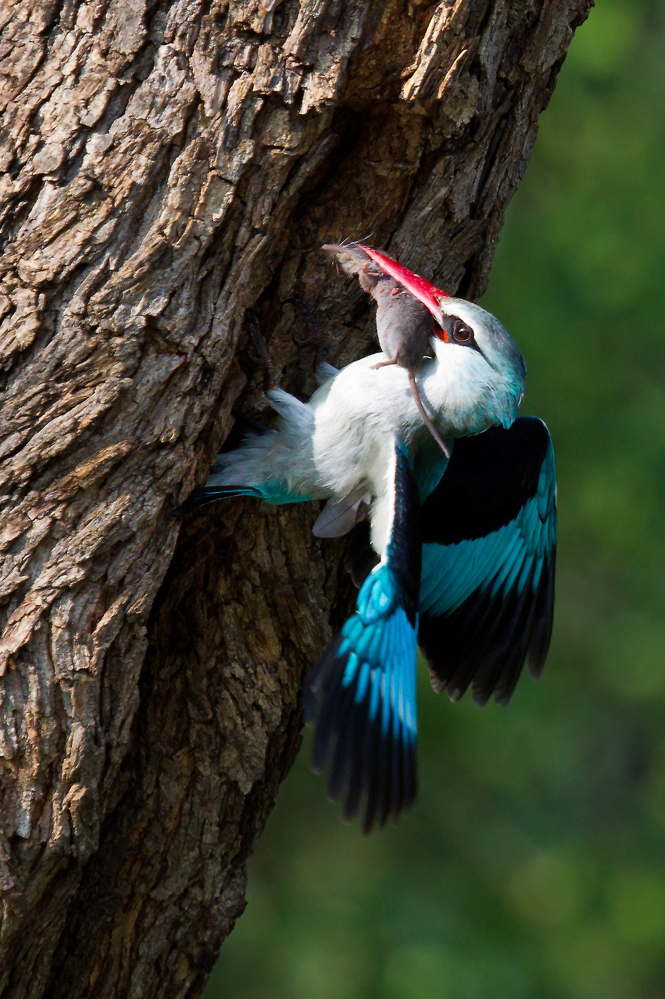 Woodland kingfisher-Loskom Dam-Jan van Wyk-2