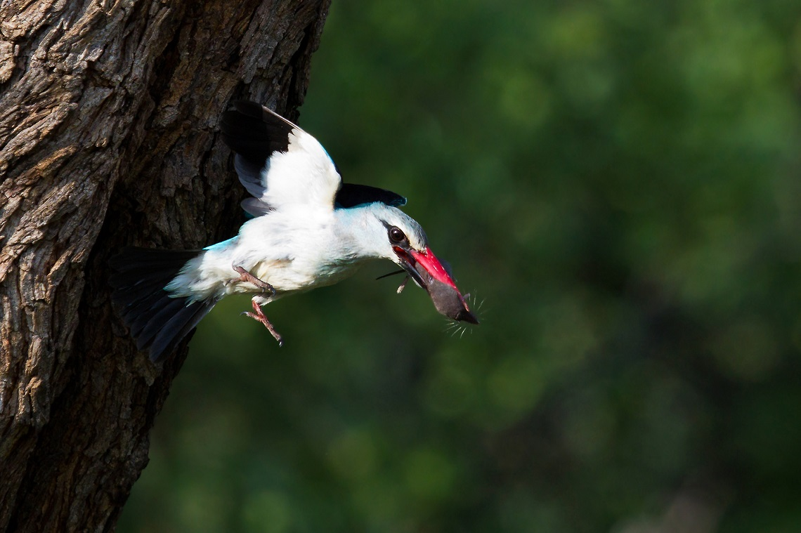 Woodland kingfisher-Loskom Dam-Jan van Wyk-3
