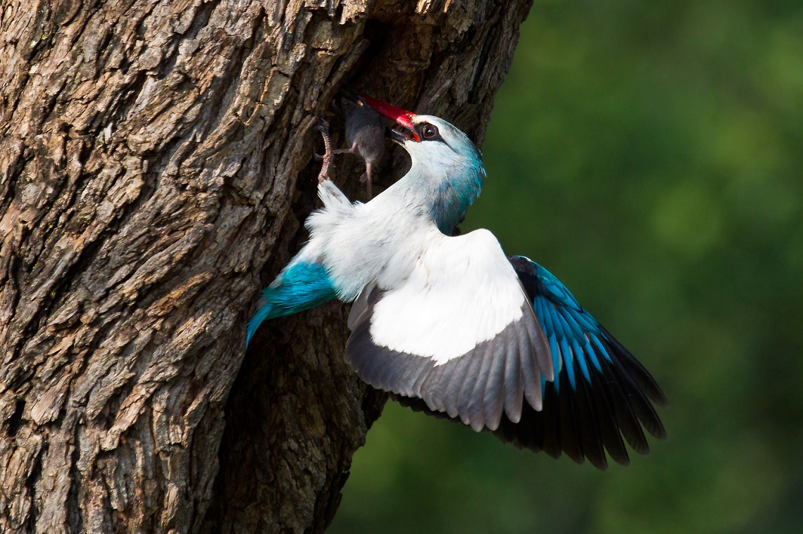 Woodland kingfisher-Loskom Dam-Jan van Wyk-7