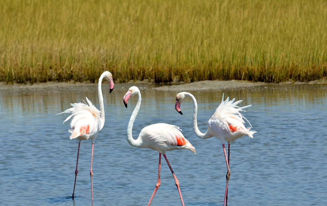 Greater flamingo-Animal behaviour-Evelyn Joubert-2